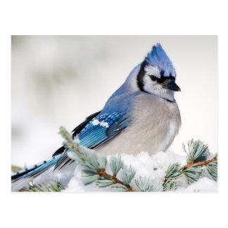 Geai bleu dans le cèdre d'atlas bleu carte postale