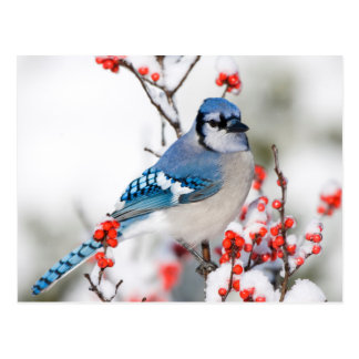 Geai bleu dans le Winterberry commun Carte Postale