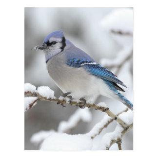 Geai bleu d'hiver carte postale