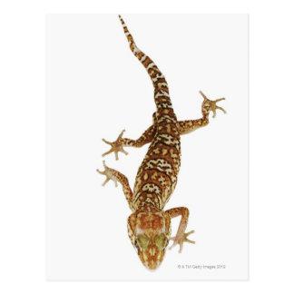 Gecko moulu du Madagascar (pictus de Paroedura) Carte Postale