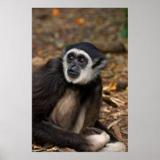 Gibbon Blanc-Remis (Lar de Hylobates), Monkeyland Posters