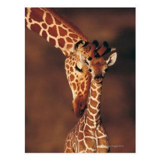 Girafe adulte avec le veau (camelopardalis de carte postale