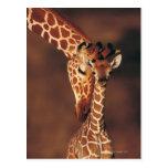 Girafe adulte avec le veau (camelopardalis de Gira Cartes Postales