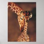 Girafe adulte avec le veau (camelopardalis de Gira Poster