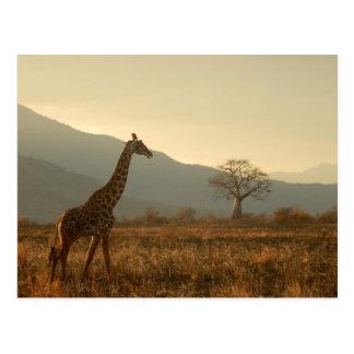 Girafe dans la savane carte postale