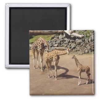 Girafe de bébé et famille de girafe magnet carré