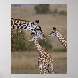 Girafe de Maasai (girafe Tippelskirchi) comme vu Posters
