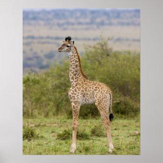 Girafe de masai (camelopardalis 2 de Giraffa Posters