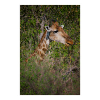 Girafe mangeant le feuille poster