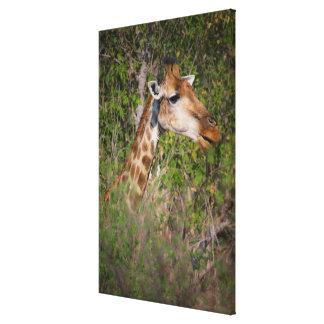 Girafe mangeant le feuille toile
