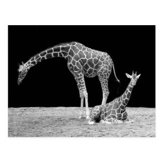 Girafes en noir et blanc cartes postales