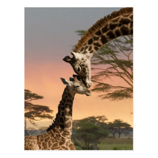 Girafes se saluant cartes postales