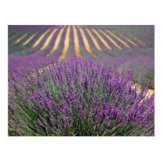 Gisements de lavande carte postale de Provence,