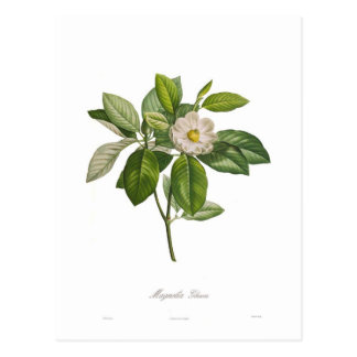 Glauca de magnolia carte postale