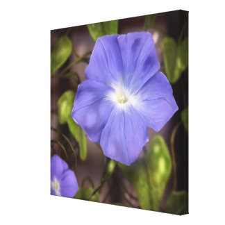 Gloire de matin - toile d'art de fleur 24x24 toile tendue