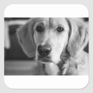 Golden retriever sticker carré