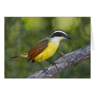 Grand adulte de Kiskadee été perché Cartes