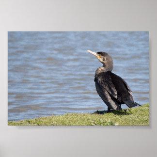 Grand Cormorant Poster