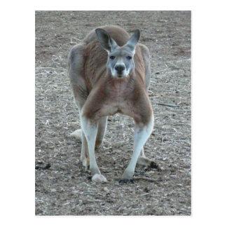 Grand kangourou rouge carte postale