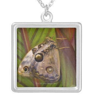 Grand papillon de jeune hibou (tamarindi collier