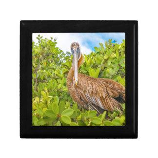 Grand pélican à l'arbre, Galapagos, Equateur Boîte À Souvenirs