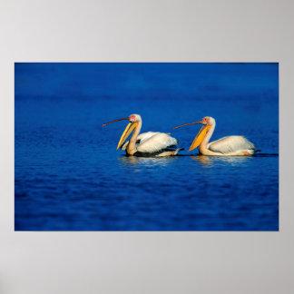 Grand pélican blanc (Pelecanus Onocrotalus) 2 Posters