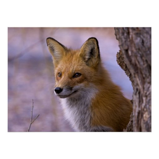 Grande affiche de Fox
