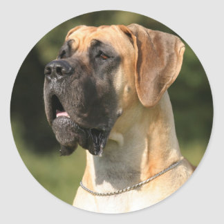 Great dane - fawn/dogue allemand - jaune
