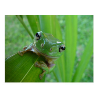Grenouille Cartes Postales