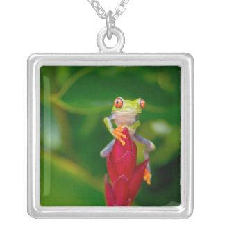 grenouille d'arbre de Rouge-oeil, Costa Rica Collier