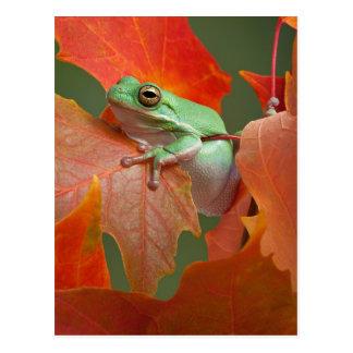 Grenouille d'arbre verte dans l'automne carte postale