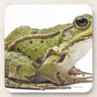 Grenouille européenne commune ou grenouille comest sous-bock