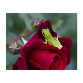 Grenouilles d'arbre vertes et roses rouges carte postale