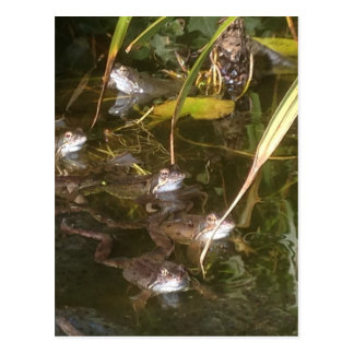 Grenouilles, grenouilles et plus de grenouilles carte postale