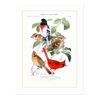 Gros-bec et cardinal cartes postales