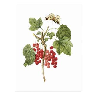 groseille rouge (rubrum de Ribes) par Redouté Cartes Postales