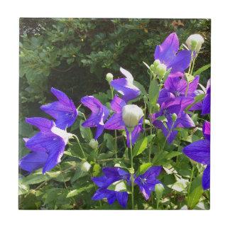 Groupe de Campanula (fleurs de ballon bleues) --- Petit Carreau Carré