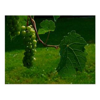 Groupe de carte postale de raisins