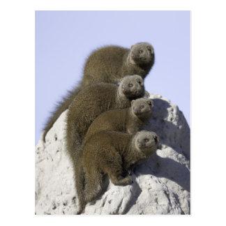 Groupe de la mangouste naine sur un monticule de carte postale