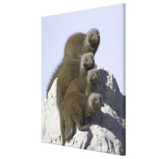 Groupe de la mangouste naine sur un monticule de toiles