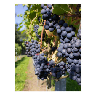 Groupes de raisins bleus avec le chemin cartes postales