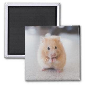 Hamster mignon magnet carré