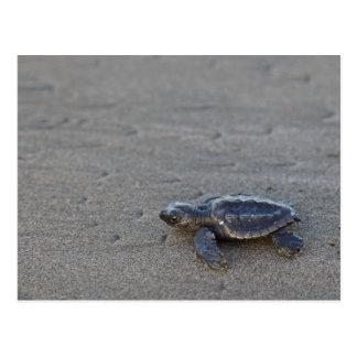 Hatchlings de tortue carte postale