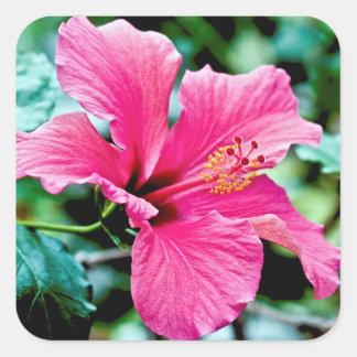 Hibiscus rose vif sticker carré