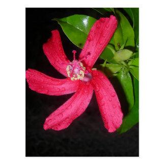hibiscus rouge carte postale
