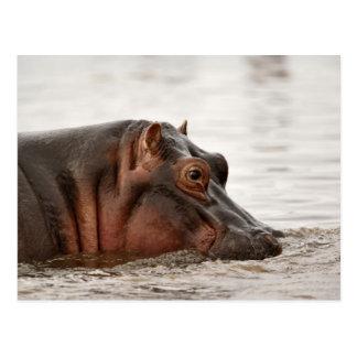 Hippopotame, amphibius d'hippopotame, lac cartes postales