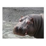 Hippopotame hardi ! carte postale