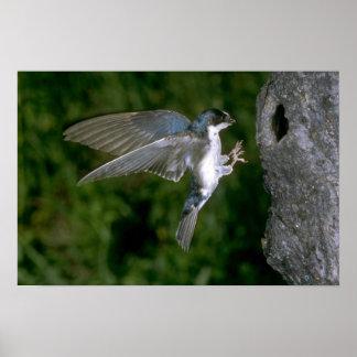 Hirondelle d'arbre entrant pour un atterrissage affiche