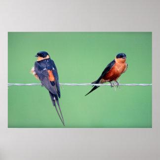 Hirondelles à gorge rouge (Hirundo Semirufa) Affiches
