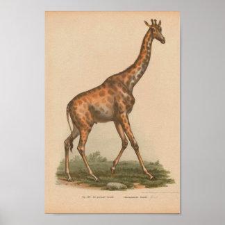 Histoire naturelle de girafe d'impression animal poster